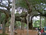 Дерево в Ауробиндо ашраме