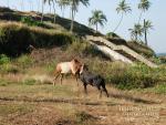 Бой буйволов на Багаторе