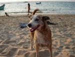 Пляжные псы Гоа