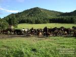 Табун башкирских лошадей